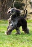 Courses de lévrier afghan de chien Photos libres de droits