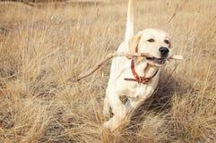 Courses de labrador retriever dans le domaine sur l'herbe Image libre de droits