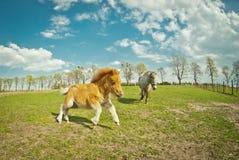Courses de poulain de poney dans le domaine Photo libre de droits