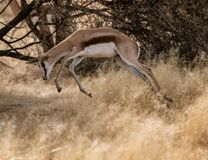 Courses de springbok par l'herbe sèche courte image stock