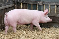 Courses de truie de porc dans seule la porcherie Photographie stock libre de droits