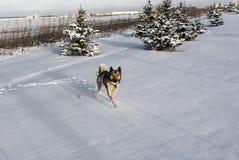 Courses enrouées de chien par la neige après tempête de neige Chien de traîneau sibérien dans la dérive de neige photos stock