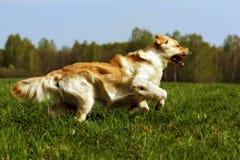 Courses heureuses de golden retriever de chien Photographie stock