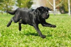 Courses noires de Labrador à travers l'herbe Photo libre de droits