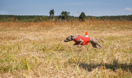 coursing Ιταλικό greyhound σκυλί που τρέχει πέρα από τον τομέα Στοκ Εικόνες