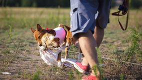 Coursing. Basenji dog caught the bait Royalty Free Stock Images