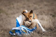 Coursing. The Basenji dog at the finish caught a bait stock photography