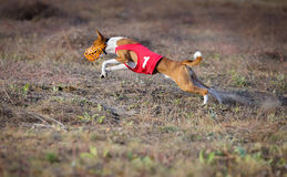 Coursing. Basenji dog pursues the lure. Royalty Free Stock Photos