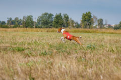 Coursing. Basenji dog running across the field Royalty Free Stock Photo