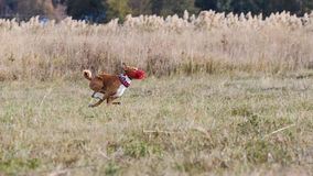 Coursing. Basenji dogs run after a lure. Grassy field Stock Photo