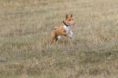 Coursing. Basenji dogs run after a lure. Grassy field Stock Photos