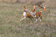 Coursing. Basenji dogs run after a lure. Grassy field Royalty Free Stock Photos