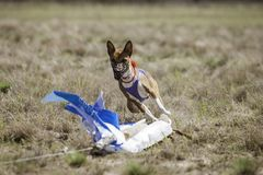 Coursing. Basenji dogs runs across the field Stock Photography