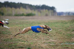 Coursing. Dog Greyhound pursues bait in the field. Royalty Free Stock Image