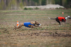 Coursing. Dog Greyhound pursues bait in the field. Stock Image