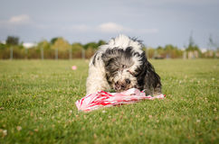 Coursing. Dog in summer time Stock Images