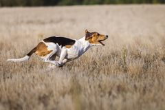 Coursing. Dogs Estonian hound finish lacks the lure. Summer sunny day Royalty Free Stock Image
