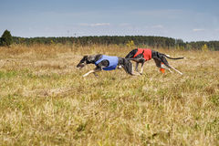 Coursing. Dogs Horta Greyhounds running track. Herbal pore Stock Photography