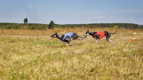 Coursing. Dogs Horta Greyhounds running track. Herbal pore Stock Photos