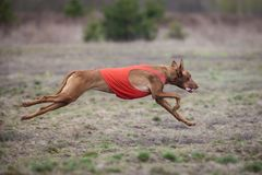 Coursing, Pharaoh dogs runs across the field royalty free stock image