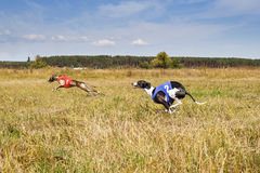 Coursing. Dogs Whippet running track. Herbal pore Royalty Free Stock Photography