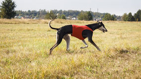 Coursing. Hound Dog Horta is running on the field Royalty Free Stock Image