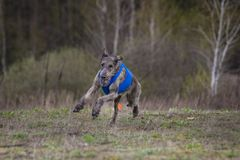 Coursing. Irish Wolfhound dog. Runs across the field Royalty Free Stock Photography