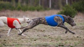 Coursing. Irish Wolfhound dog. Runs across the field Stock Photo