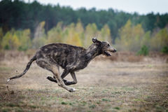 Coursing. Irish Wolfhound dog runs Stock Images