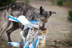 Coursing. Irish Wolfhound dog runs Royalty Free Stock Photo