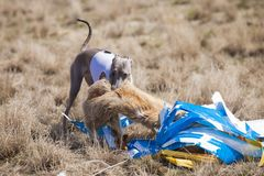 Coursing. The Italian Greyhound dog at the finish caught a bait royalty free stock photo