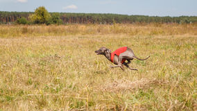 Coursing. Italian greyhound dog running across the field Royalty Free Stock Image