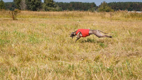 Coursing. Italian greyhound dog running across the field Stock Image