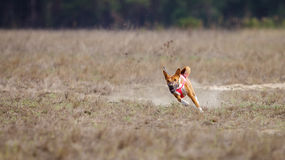 Coursing, passion and speed. Dogs Basenji running Royalty Free Stock Photo