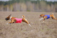 Coursing, passion and speed. Dogs Basenji running Royalty Free Stock Images