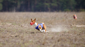 Coursing, passion and speed. Dogs Basenji running Royalty Free Stock Photography