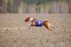 Coursing, passion and speed. Dogs Basenji running Stock Photo