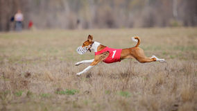 Coursing, passion and speed. Dogs Basenji running Stock Photos