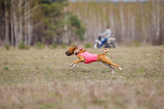 Coursing, passion and speed. Dogs Basenji running Stock Image