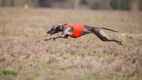 Coursing, passion and speed. Piccolo levriero italiano Stock Photography