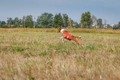 coursing Perro de Basenji que corre a través del campo Foto de archivo libre de regalías