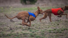 Coursing, Pharaoh dogs runs across the field stock images