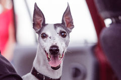 Coursing. Portrait of a whippet dog Stock Photos