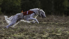 Coursing. The Race of Russkaya psovaya borzaya Stock Photos