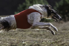 Coursing. The Race of Russkaya psovaya borzaya Royalty Free Stock Photos