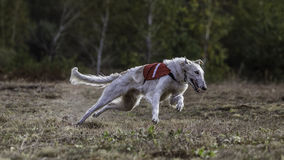 Coursing. The Race of Russkaya psovaya borzaya Stock Photography