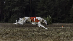 Coursing. The Race of Russkaya psovaya borzaya Royalty Free Stock Images