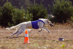 Coursing. The Race of Russkaya psovaya borzaya Royalty Free Stock Image