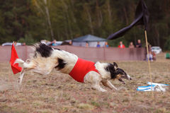 Coursing. The Race of Russkaya psovaya borzaya Royalty Free Stock Photography