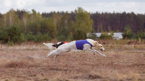 Coursing. The Race of Russkaya psovaya borzaya Royalty Free Stock Image